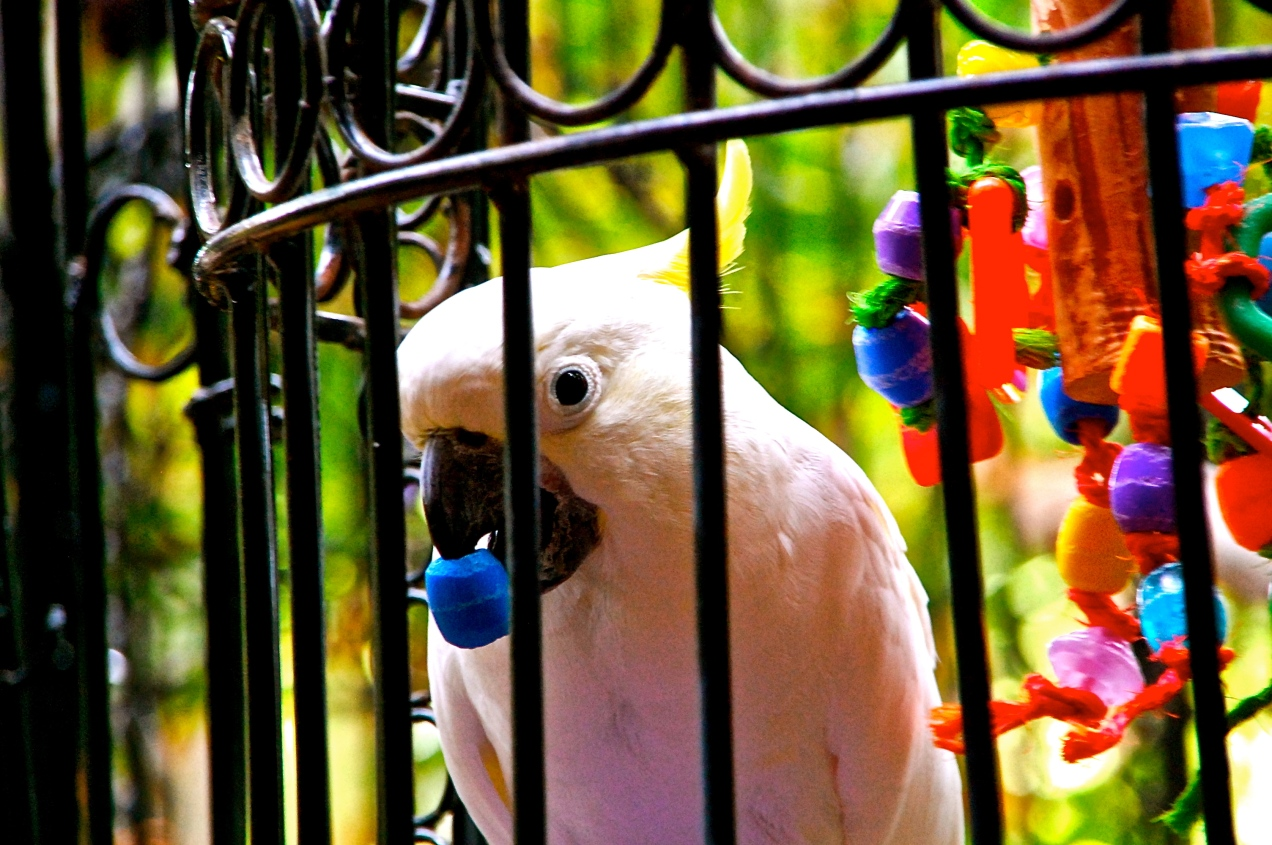 Chadwick, the Cockatoo
