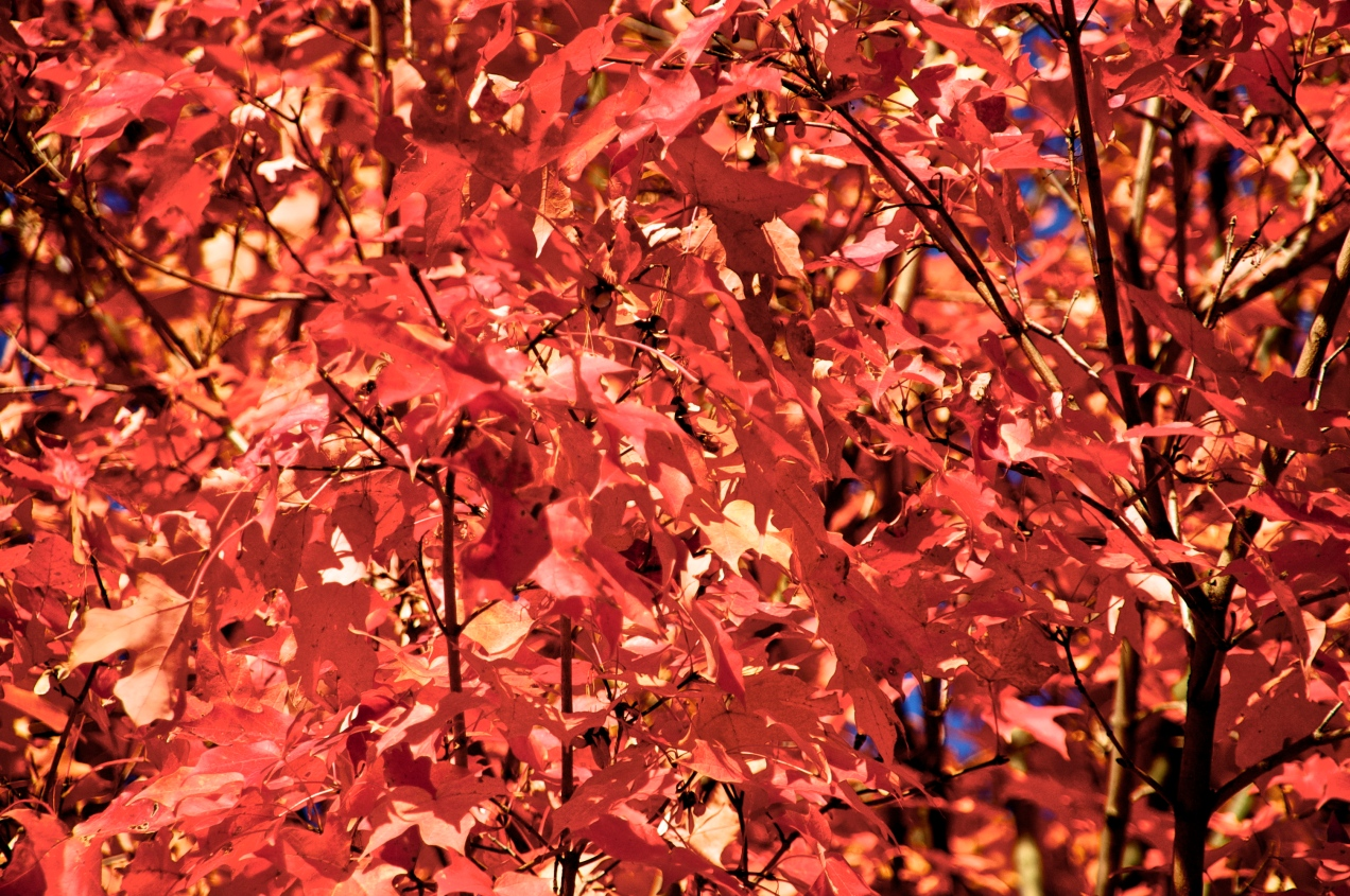 Beautifully-colored Leaves Waiting to Fall
